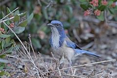 California Scrub Jay (Alan Gutsell) Tags: california scrub jay californiascrubjay alan naturephoto wildlifephoto canon camera usabirds birds sandiego botaical