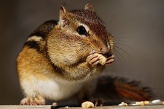 Eastern Chipmunk (Anne Ahearne) Tags: wild animal nature wildlife closeup feeding eating peanuts chipmunk striped rodent easternchipmunk cute