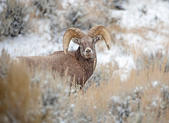Ram-atude... (DTT67) Tags: ram bighornsheep wyoming 5dmkiv 100400 canon5dmkiv canon grandtetons mountains mammal animal wildlife