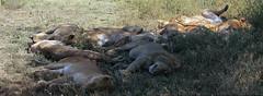 Lion pride at Ndutu Ngorongoro Conservation Area in Tanzania (inyathi) Tags: africa eastafrica tanzania africanwildlife africananimals africanlions lions pantheraleo bigcats cats wildfelinephotography ndutu ngorongoroconservationarea nca serengeti