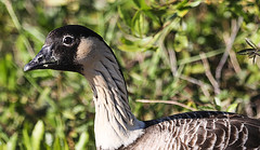 Nēnē Closeup (wyojones) Tags: hawai'i hawaii hawai'ivolcanoesnationalpark wildlife geese nēnē hawaiiangoose bigisland birds waterfowl brantasandvicensus feathers goose banded wyojones