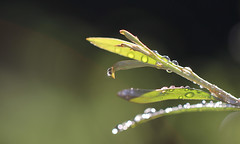 Droplets.... (flying-leap) Tags: canon canon60d nz macro summer droplets bokeh canonef100mmisusmmacro nature