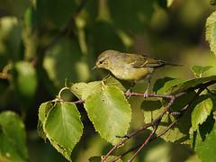 Paruline obscure / Tennessee Warbler / Vermivora peregrina (jeancbenoit51) Tags: paruline warbler vermivora jeancbenoit tadoussac
