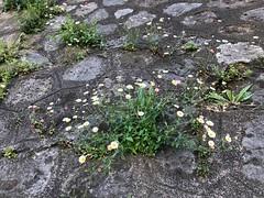 marguerite-bouquet-béton© (alexandrarougeron) Tags: photo alexandra rougeron flickr fleurs nature plante végétal végétale ville beauté couleur frais