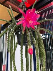 cactus-fleur-rose© (alexandrarougeron) Tags: photo alexandra rougeron flickr fleurs nature plante végétal végétale ville beauté couleur frais