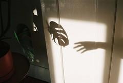 (nikki.lake) Tags: monstera hand shadow olympusom2n analog kodak kodakportra400 portra400 portra film 35mm