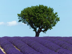 P1800857 (alainazer2) Tags: valensole provence france lavande lavanda lavender fiori fleurs flowers fields champs ciel cielo sky albero arbre tree