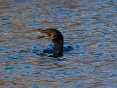 Cormorant Fish Dinner (Daren Grilley) Tags: los angeles la bird birds fishing lake fuji fujifilm xt3 xf 100400