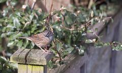 Dunnock (Donna Joyce) Tags: dunnock bird wildlife kent uk