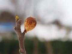 a fig in winter (murozo) Tags: fig fruit tree winter nikaho akita japan イチジク 無花果 木 果物 冬 にかほ 秋田 日本
