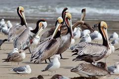 Brown Pelicans, Malibu Lagoon, CA CQ4A4069 (Hart Walter) Tags: malibulagoon legacypark royaltern brownpelican grayplover marbledgodwin