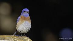Western Bluebird (m) (Bob Gunderson) Tags: birds bluebirds california northerncalifornia sanfrancisco sialiamexicana sutroheights thrushes westernbluebird