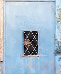 Athene noctua, Κουκουβάγια, Little Owl (belas62) Tags: owl nocturnal ngc bird attica greece κουκουβάγια μεσόγεια αττική πουλί