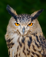Eurasian Eagle Owl (Susan Candelario) Tags: ghow lifescience zoology animal animals avain aves beak beaks bird birdofprey birds birdsofprey creature creatures feather feathers greathornedowl ornithology owl owls plumage raptors undomesticatedanimals wildlife