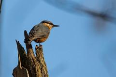 Kleiber_2 (thomas_bauer94) Tags: bird vogel sigma150600 wildlife canon photography nature animals kleiber spechtmeise nuthatch