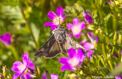 A large moth among the redmaids (Photosuze) Tags: red flowers redmaids native flora wildflowers moths insects bugs pollination animals wildlife nature