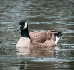 Friendship Pond Canada Goose 1 NBG (Puddin Tain) Tags: brantacanadensis canadagoose bird goose pond norfolkbotanicalgarden norfolkvirginia