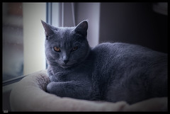 Ursus X (***RM***) Tags: kartouzská kočka cats animals portrait indoor nikon d850 nikkor 2470mm georglouisleclercdebuffon exotic mazlíček kočkadomácí chovatel feliscatus french francaise chartreux