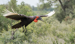 Southern Ground Hornbill (dunderdan77) Tags: southern ground hornbill south africa mpumalanga kruger national park wildlife nature safari bird beak feather fly flying outdoor oudoors skukuza nikon tamron d500 wildlifephoto