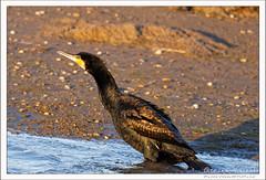 2019-03-13-40565--©-Gerard-MUSSOT (Gerard MUSSOT) Tags: deltedelebre oiseaux faune españa ebro reservenaturele