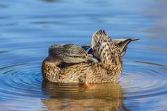 duck (bożenabożena) Tags: animal waterfwol bird duch water blue zwierzę ptactwowodne ptak kaczka niebieski canonphotography