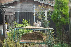 21 March 2019 (6) (AJ Yakstrangler) Tags: yakstrangler squirrel