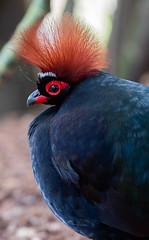 Roelroel (Borreltje.com) Tags: kleincostarica costarica tropical tropics someren nature wildlife nikon animalphotography