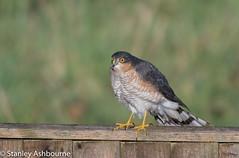 Sparrowhawk (stanley.ashbourne) Tags: sparrowhawk bird nature wildlife stanashbourne standlake oxfordshire wildlifephotography