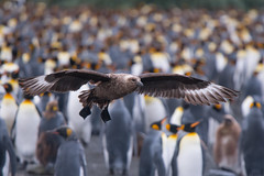 A cluttered background (Tim Melling) Tags: antarctic brown skua catharacta antarctica lonnbergi king penguin colony aptenodytespatagonicus gold harbour south georgia timmelling