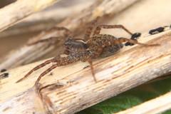 Lycosidae Pardosa at Titchfield Canal (Art-G) Tags: spider lycosidae pardosa titchfieldcanal titchfield hampshire uk canon eos7dmkii tamron90mmucvsd macro insect dunsdaylights