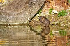 Ragondin Myocastor coypus (lolodoc) Tags: myocastor coypus ragondin rongeur wildlife nature animal sauvage