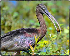 Ibis with an apple snail (RKop) Tags: ibis raphaelkopanphotography circlebpreserve florida d500 600mmf4evr nikon