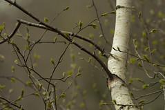 Jeune bouleau (serjinta) Tags: bouleau arbre naissance feuilles printemps gris vert nature étang corrèze limousin green birch tree trees