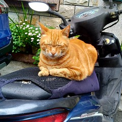 Cat (theq629) Tags: animal cat jian taiwan hualian