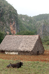 The Tobacco Farm Cow (peterkelly) Tags: digital canon 6d northamerica cuba cubalibre gadventures viñalesvalley farmwalk barn cliff mogotes cow tobacco rural field limestone