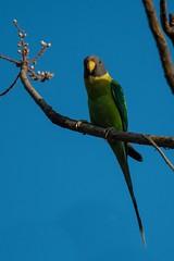 Female Plum Headed Parakeet (iamfisheye) Tags: 300mm nikon naturetrek d500 xqd february sassangir vr f4 india raremammalsandbirdsofgujarat gujarat afs tc14iii 2019 plumheadedparakeetindia pf