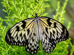 _DSC0995 Paper Kite (Charles Bonham) Tags: butterfliesinbloom butterfly insect dowgardens midlandmi foliage sonya7rll sonyfe100400mmgmoss bokeh charlesbonhamphotography paperkite