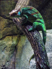 He's Been Clubbing Again (Steve Taylor (Photography)) Tags: chameleon camouflage reptile colourful green brown blue asia singapore branch rock stone zoo