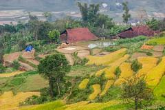 _MG_0620.1011.QL34.Khuổi Cấp.Nguyên Bình.Cao Bằng (hoanglongphoto) Tags: asia asian vietnam northvietnam northeastvietnam northernvietnam landscape scenery vietnamlandscape vietnamscenery caobanglandscape village house homes terracedfields terraces seasonharvest canon canoneos5dmarkii canonef70200mmf28lisiiusm đôngbắc caobằng nguyênbình ql34 phongcảnh bảnlàng nhữngngôinhà ruộngbậcthang lúachín mùagặt caobằngmùalúachín caobằngmùagặt greenscene