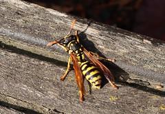 Wasp (Hugo von Schreck) Tags: hugovonschreck wasp wespe insect insekt macro makro canoneosm50 efm1545mmf3563isstm