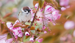 Tree sparrow (Jongejan) Tags: treesparrow ringmus bird animal wildlife outdoor outside nature flower spring blossom pink branch feather ornithology