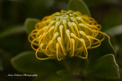 Coastal Pincushion (Anna Calvert Photography) Tags: australia canberra flora floral flowers garden landscape macro macrophotography mygarden nature outdoors petals plants coastalpincushion leucospermumpatersonii