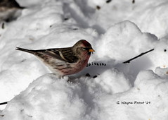 Common Redpoll (Carduelis Flammea) (Gerald (Wayne) Prout) Tags: commonredpoll carduelisflammea animalia aves chordata passeriformes fringillidae carduelis flammea common redpoll animal animals bird birds songbirds winterbirds perchingbirds wildlife nature herseylakeconservationarea cityoftimmins northeasternontario ontario canada prout geraldwayneprout canon canoneos60d eos 60d digital dslr camera canonlensef70300mmf456isusm lens ef70300mmf456isusm photographed photography herseylake conservation area city timmins northernontario northeastern northern