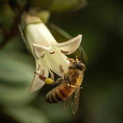 Pollination (San Francisco Gal) Tags: correapulchella ivorybells flower fleur bloom blossom pollinator macro syrphidfly hoverfly january 2019 ngc npc