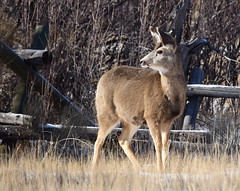 Mule deer at Seedskadee National Wildlife Refuge (USFWS Mountain Prairie) Tags: seedskadeenwr seedskadeenationalwildliferefuge muledeer nature nwrs nationalwildliferefugesystem nationalwildliferefuge usfws usfishandwildlifeservice usfishwildlifeservice wyoming wyomingwildlife conservation wildlife