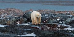 Big Bear - Churchill, MB (Kapitan Curtis) Tags: polar bear rocks tundra arctic churchill manitoba canada nikon f6 zeiss lenses telephoto fuji film velvia 50 coolscan 5000ed canadian 300mm f28 prime bus wapusk national park