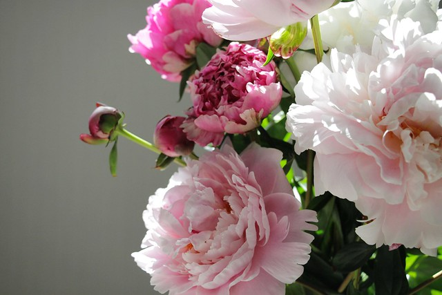 Обои цветы, бутоны, пион, букет пионов картинки на рабочий стол, раздел цветы - скачать