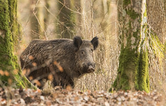 Brave solitaire (Eric Penet) Tags: sanglier wildlife wild france faune forêt mammifère mormal animal sauvage avesnois hiver soleil février nature nord boar suidé sus scrofa mammal