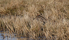 Camouflage (yvonnepay615) Tags: panasonic lumix gh4 nature bird snipe nwt norfolkwildlifetrust norfolk eastanglia uk