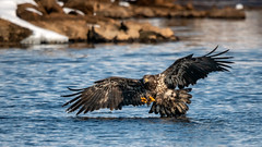 Pounce (jmishefske) Tags: mature wisconsin bald fish nikon necedah dam bird d500 flying petenwell february catching eagle bif 2019